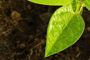 Foliar Fertilisation