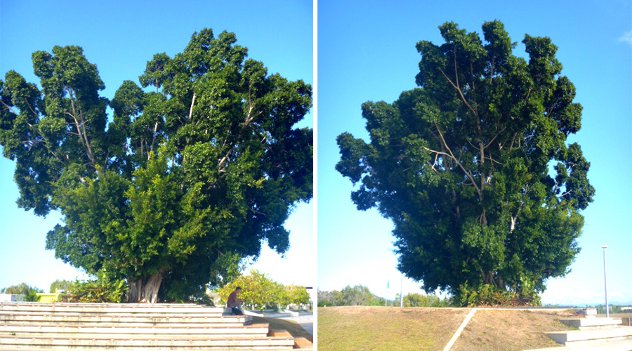 giant transplanted fig tree northshore